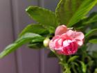 Бальзамины розовые цветущие,-актуальные фото