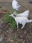 Продам козлят 2,5 месяца, Витебск