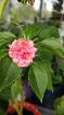 Бальзамин цветущий розовый,-актуальные фото