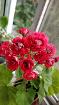 Герань розебудная красно-белая цветущая, Минск