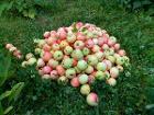 Куплю яблоки, Могилев