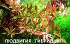 Людвигия гибридная. Наборы растений. УДО.