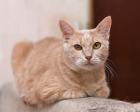 Остин - персиково-рыжий котик в дар!