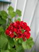 Герань розебудная красная в цвету-взрослые растения