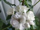 Герань белая в цвету - взрослое растение