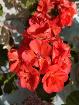 Герань алая цветущая - классный цвет