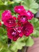 Герань розебудная малиновая-взрослый цветущий куст