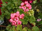Тюльпановидная герань-взрослый цветущий кустик