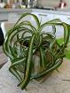 Хлорофитум кудрявый, - растение продаётся без кашпо