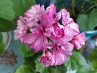 Герань цветущая розовая-взрослый кустик