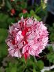 Герань цветущая Стеллар-взрослый кустик