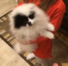 Продаётся щенок померанского шпица)))