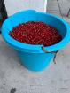 Поречка (красная смородина), ведро (6 кг)