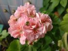 Герань махровая Odensjo Leonora- цветущие кустики