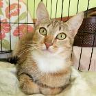 Кошка 8 мес., стерилизована, Брест