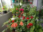 Герани розебудные цветущие-все по 4 рубля