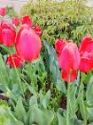 Тюльпан красный,розовый из ЛК