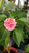 Бальзамин розовый цветущий, Минск