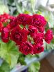 Герань розебудная малиновая цветущая - взрослое растение