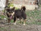 Собака Дин. Кобель 1,5 года, привит, кастрирован.
