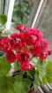 Герань красно-белая цветущая-взрослые кусты