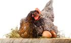 яйца куриные (домашние), Гомель