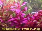 Растения. Людвигия супер-РЭД.Наборы растений.УДО