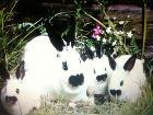 КРОЛИКИ кролик КАЛИФОРНИЙСКАЯ порода БАРАН СТРИКАЧ