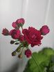 Герань розебудная малиновая-взрослые цветущие кустики