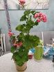 Герань тюльпановидная цветущая - актуальные фото, Минск
