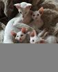продам котят ОРИЕНТАЛОВ