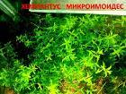 Хемиантус микроимоидес. Наборы растений. УДО.