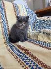 Котёнок, американский экзотический