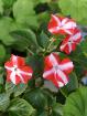 Бальзамин цветущий,-необычный цвет