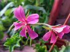 Герань ампельная цветущая