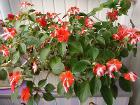 Бальзамин-огромный цветущий куст