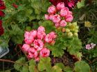 Тюльпановидная герань-полноценный кустик
