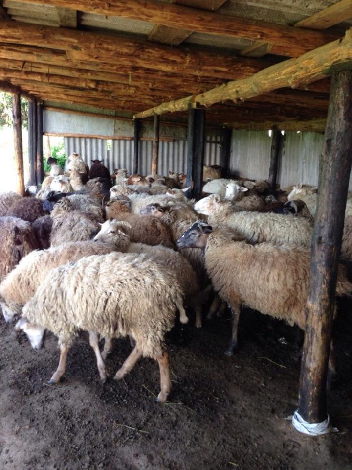 Овцы мясных пород в белоруссии