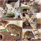 Бенгальские котятки