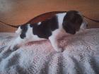 Бигль щенок девочка, Гомель в Беларуси