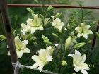 Букет цветов из свежесрезанных цветов :ромашка ,пи