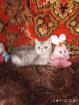 Экзот. Котёнок., Молодечно в Беларуси
