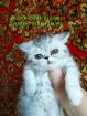 Экзотическая девочка серебрстая шиншилла., Молодечно в Беларуси