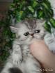 Экзотическая девочка серебрстая шиншилла короткошерстная., Молодечно в Беларуси