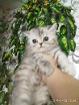Экзотическая короткошерстная красотка. Котёнок. Экзоты., Молодечно в Беларуси