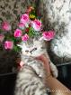 Экзотическая лапушка короткошерстная. Котёнок. Экзоты., Молодечно в Беларуси