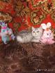 Экзотка. Котёнок., Молодечно в Беларуси