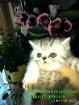 Экзоты короткошерстные котята.