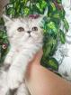 Экзоты короткошерстные котята., Молодечно в Беларуси