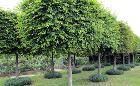 Формирование крон и обрезка деревьев в саду, Минск в Беларуси